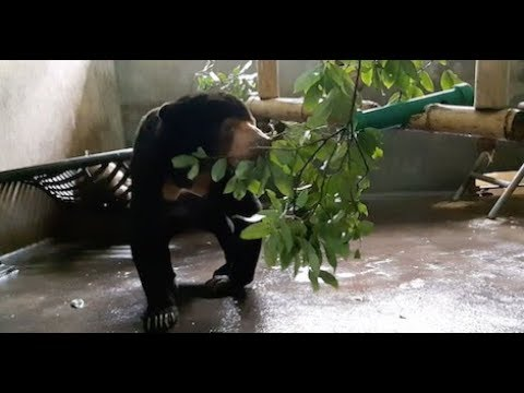 Sun bear Aurora makes herself at home after rescue from cruelty