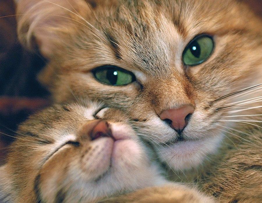 Выбираем кошку, какая порода кошки подойдет вам больше