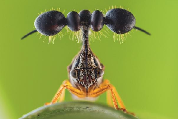 Если бы в мире существовал конкурс на звание «Самое странное насекомое», горбатки, или бодушки, стали бы абсолютными чемпионами