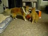 Щенок Колли и кот))