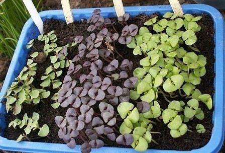 как вырастить базилик на подоконнике вырастить базилик на подоконнике, в принципе, можно в любую пору года. но начать выращивать его весной - оптимальный вариант. особенно, если вы впервые