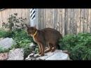 РОС Виннер и Абиссинская кошка