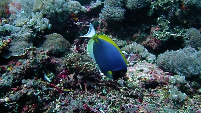 Голубой хирург Дори ест планктон и водоросли на дайвсайте Crystal Bay острова Нуса-Пенида | Дайвинг на Бали