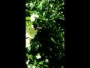 Жасмин цветёт в Петровском парке. Москва.