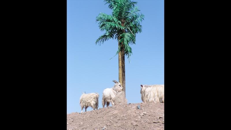 Козёл на пальме