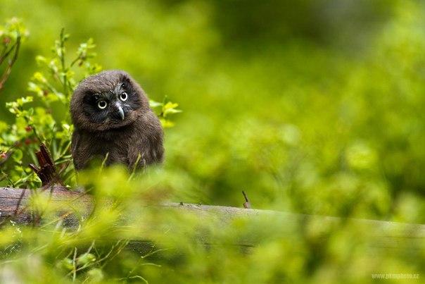 Peter Krejzl #owl