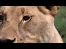 Дикие животные. Мир Африки. Документальный фильм Discovery. Серия 2