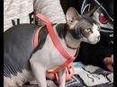 выставка кошек КИС КИС МЯУ прошла в Вятских Полянах