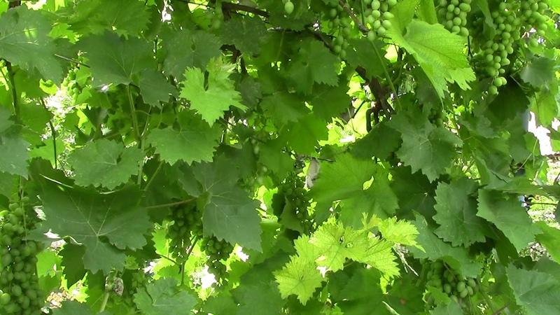 Оидиум виноградника побеждён! Послесловие к фильму про виноградник.