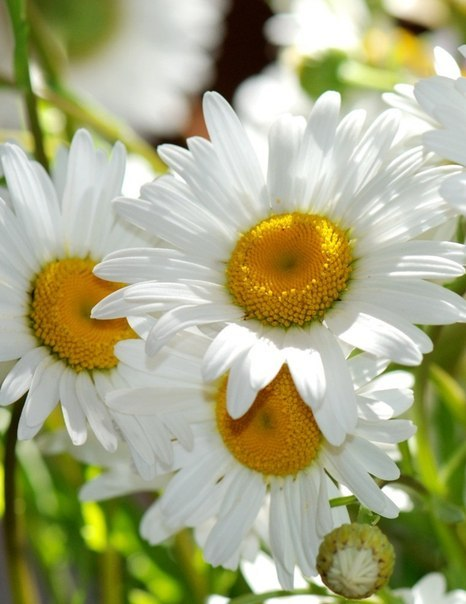 Ромашку используют в амулетах, чтобы достичь изобилия и благосостояния.