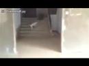Кошка ведёт пса на поводке
