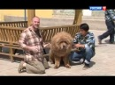 Планета собак   Тибетский мастиф   YouTube 00 06 13 00 23 51