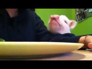 Поросёнок кушает салат