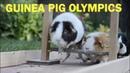 Guinea Pig Olympics Parry Gripp