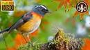 Звуки природы 3 Часа: Пение Птиц, Шум Леса, Голоса Лесных Птиц, Трель Соловья