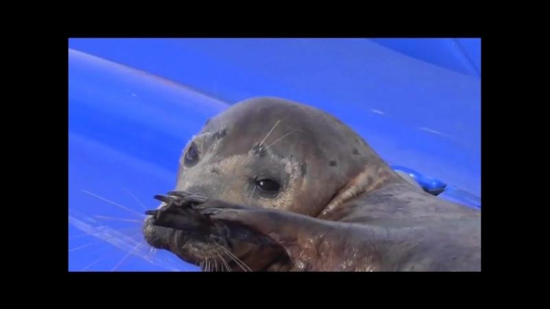 Самый целеустремленный тюлень в мире