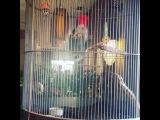 😂😂😂😂😂 мяукающий попугай!!!! Сначала думала что кошка мучают, побегала спасать, но никого не было) потом поняла что это попугай дразнит кошек)))) а! Еще и гавкает))) © Мишаня