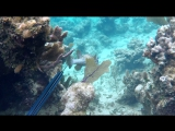 Встреча с огромной ёж рыбой (Diodon holocanthus)