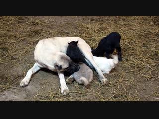 Kangal köpeği 'Kezban', kuzulara annelik yapıyor!