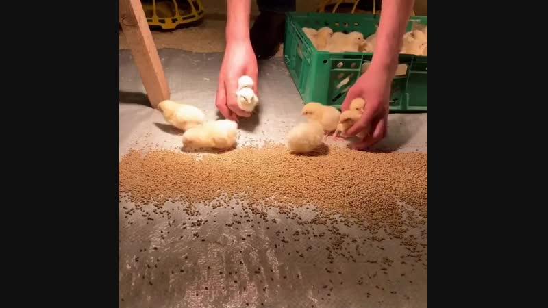 Вот так к нам приезжают цыплята в Лукино. Мы покупаем их суточными в инкубаторе, расквартировываем при температуре в птичнике 34