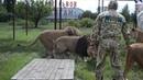 КОРМЛЕНИЕ ЛЬВОВ В ПАРКЕ THE FEEDING LIONS IN THE PARK VADUS FELIX3