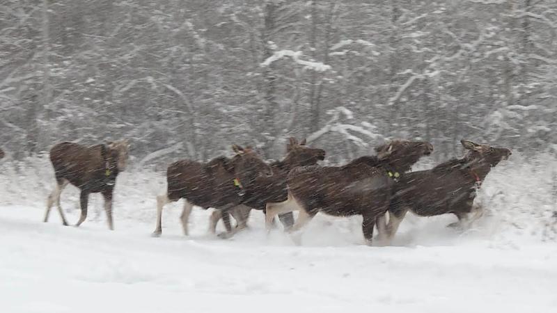 Лосей с Сумароковской лосефермы переводят на новые зимние угодья