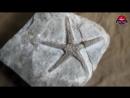 Окаменелая морская звезда Astropecten