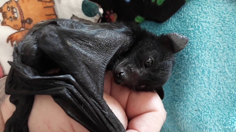 Loved James The Black Flying Fox Bat Before You'll Love Him Even More
