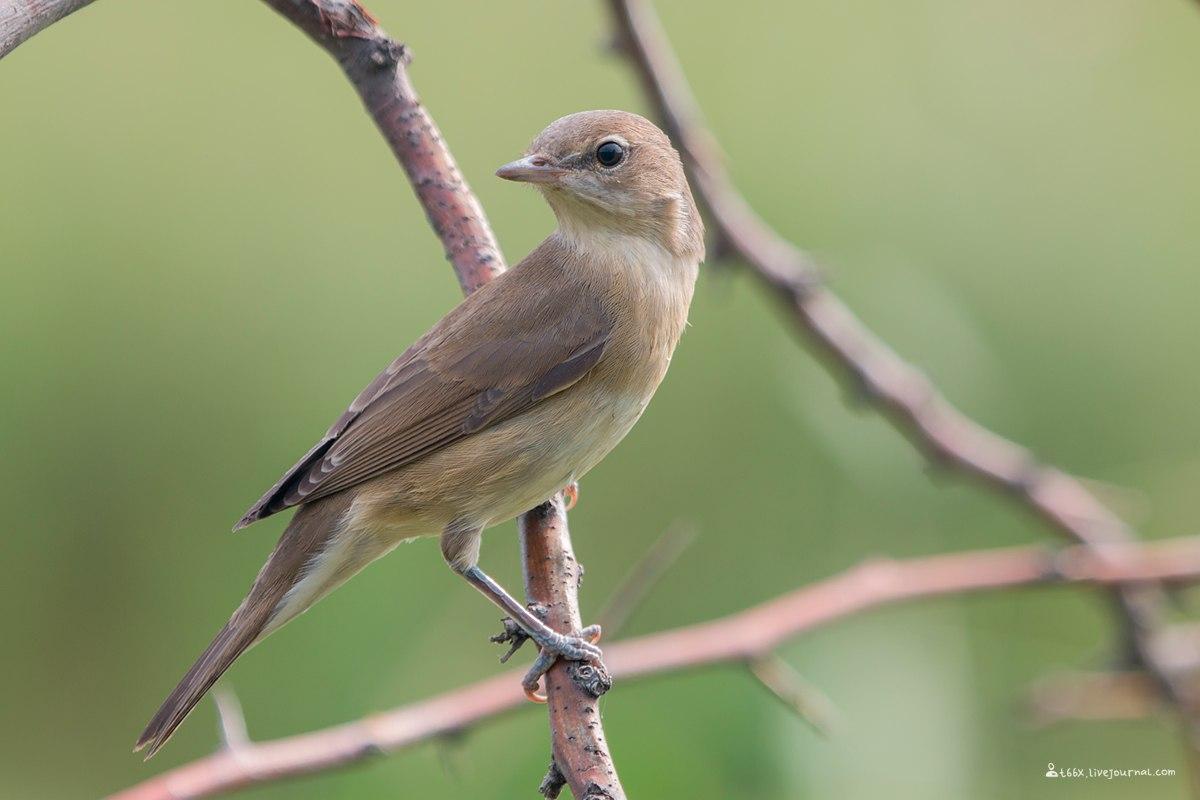 птицы Челябинска, Садовая славка