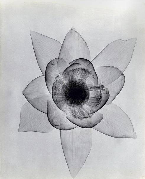 Серия рентген снимков цветов, 1930-е. Доктор радиологии Dain L. Taser родился в 1872 году в городе Белойт, штат Висконсин, США. Он был главным рентгенологом больницы Уилшир в Лос-Анджелесе,