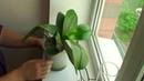 ОРХИДЕЯ ОТЦВЕЛА что делать с ЦВЕТОНОСАМИ, черенкую орхидею 2 цветоносами