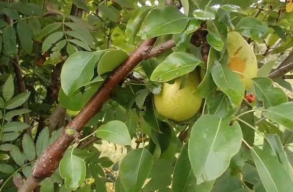 Растут груши на рябине При размножении прививкой древесные плодовые растения обычно прививают на сеянцы-дички того же вида. Однако бывают и исключения: абрикос и слива хорошо приживаются на