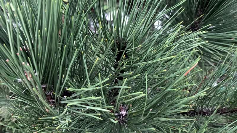 Стратификация семян сосны, проращиваем семена хвойных деревьев, как вырастить со