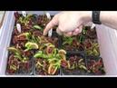 Venus Flytrap Feeding Frenzy 2
