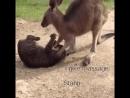 Kangourou qui fait chier un chat