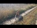 Что делать если собака тянет поводок во время выгула Бойцовая собака Ам Стафф