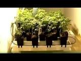 Выращивание конопли по-европейски