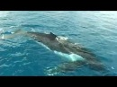 Oceania Project SONGLINES Songs of the East Australian Humpback Whales
