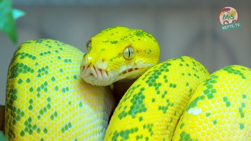 Reptil TV - Folge 50 - Morelia viridis / Chondro / Grüner Baumpython - Teil 1