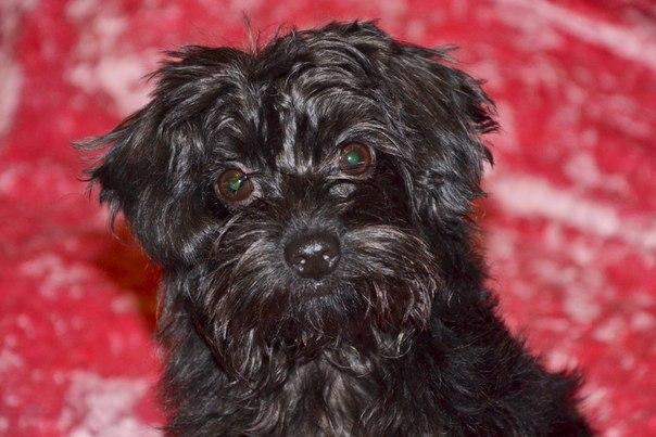 Собаки болонки фото и цены черные