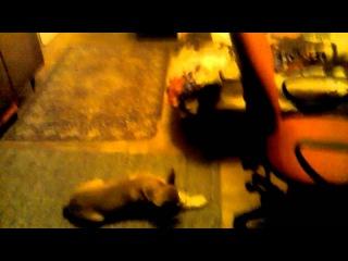 Пропала собака, щенок, американский стаффордширский терьер (амстафф. питбуль), рыжая сука