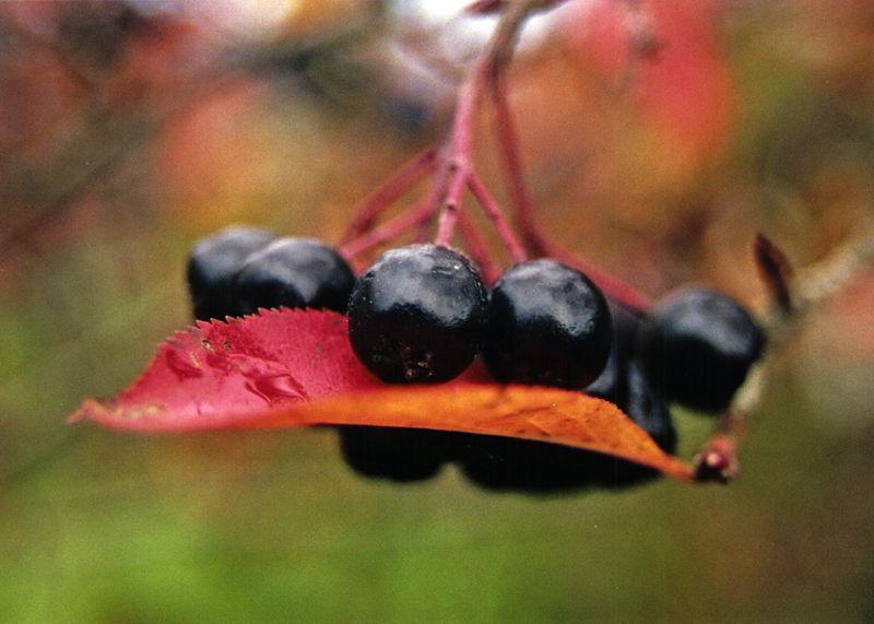Осенний сад на даче-черноплодная рябина