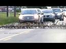 Старшие гуси контролируют процесс перехода через дорогу всей группы