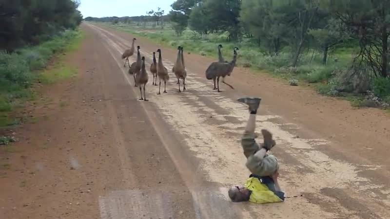 TIL that if you lie on the ground and move your arms and legs the emus will approach out of curiosity This is the kind of info