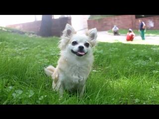 Chihuahua Chloe  3,7 years