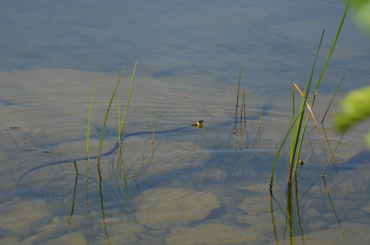 Уж обыкновенный на озере Большое Миассово (06.11.2014)