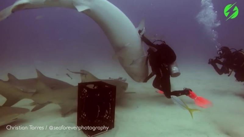 Дайвер загипнотизировал акулу