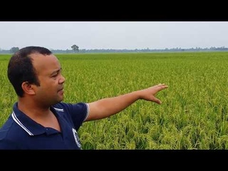 Best Paddy field in Bangladesh : Latest Video in 2018