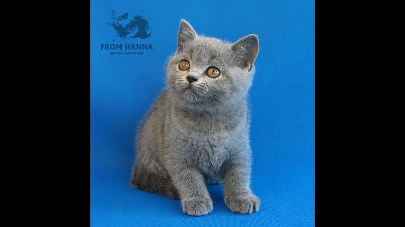 Edda british shorthair Купить британскую кошку