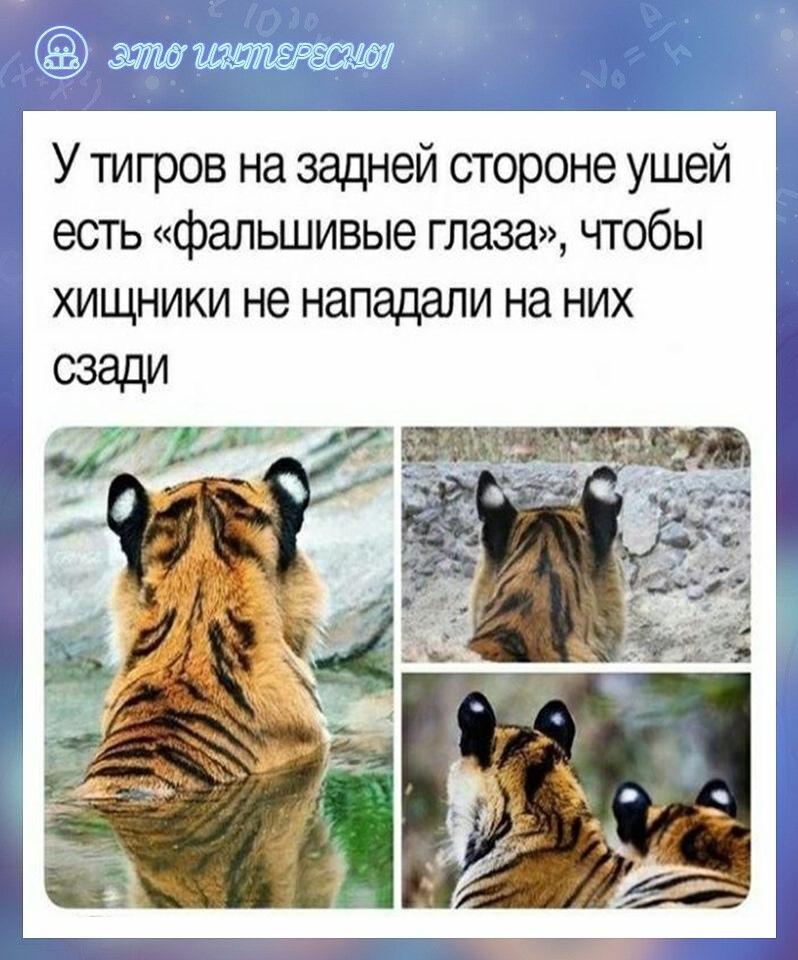 Что-то не по себе стало от того, что есть хищники и для тигров.